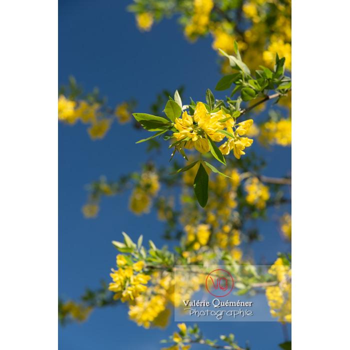 Arbre cytise en fleur (laburnum sp) - Réf : VQF&J-10763 (Q3)