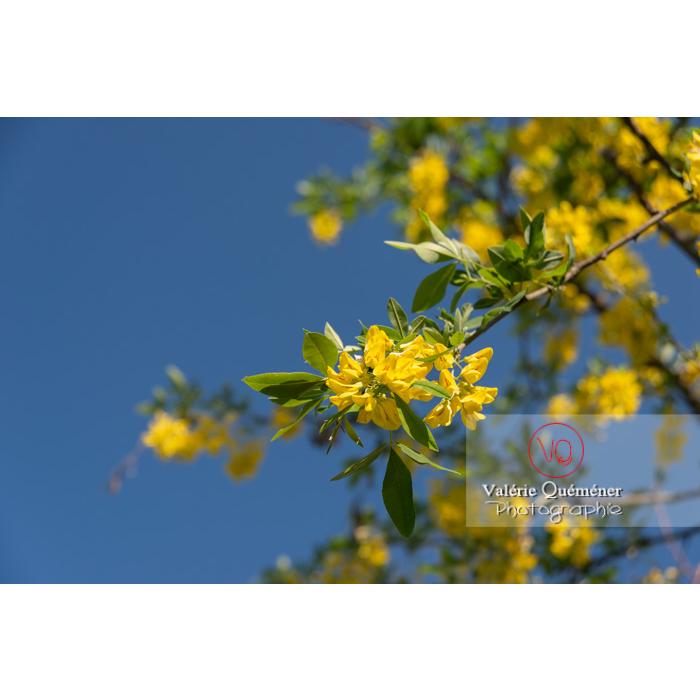 Arbre cytise en fleur (laburnum sp) - Réf : VQF&J-10764 (Q3)