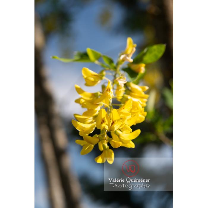 Arbre cytise en fleur (laburnum sp) - Réf : VQF&J-10765 (Q3)