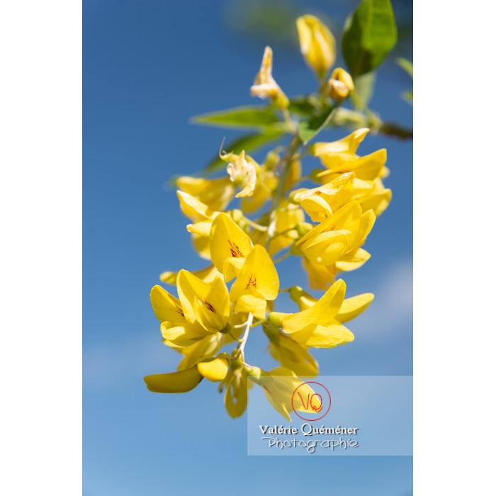 Arbre cytise en fleur (laburnum sp), détail d'une fleur jaune - Réf : VQF&J-10766 (Q3)