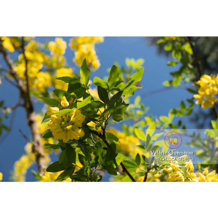 Arbre cytise en fleur (laburnum sp) - Réf : VQF&J-10767 (Q3)