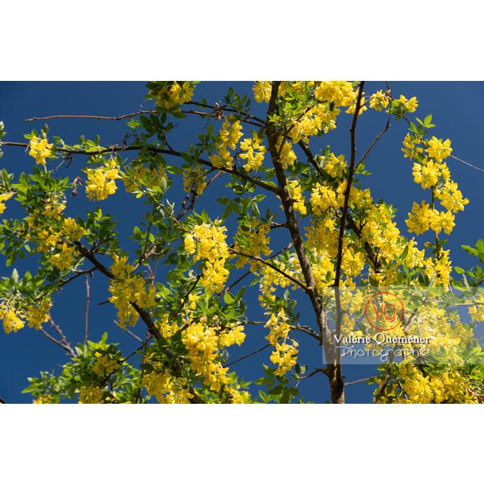 Arbre cytise en fleur (laburnum sp) - Réf : VQF&J-10769 (Q3)