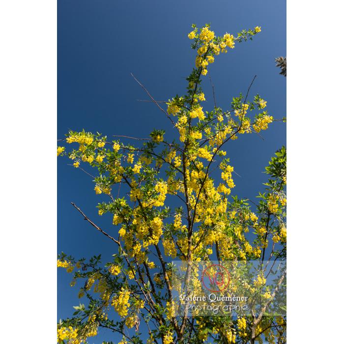 Arbre cytise en fleur (laburnum sp) sur fond de ciel bleu - Réf : VQF&J-10770 (Q3)