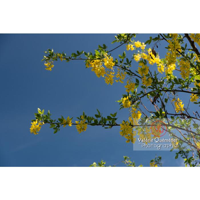 Arbre cytise en fleur (laburnum sp) - Réf : VQF&J-10771 (Q3)