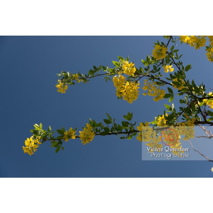 Arbre cytise en fleur (laburnum sp) - Réf : VQF&J-10772 (Q3)