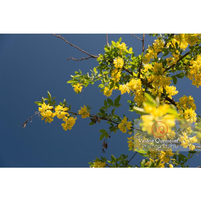 Arbre cytise en fleur (laburnum sp) - Réf : VQF&J-10773 (Q3)