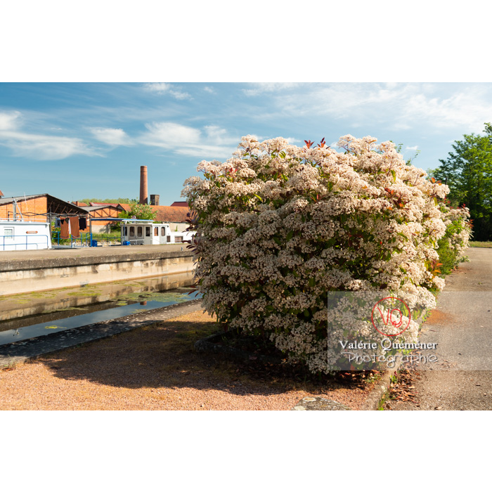 Photinie en fleur (photinia sp) - Réf : VQF&J-10775 (Q3)