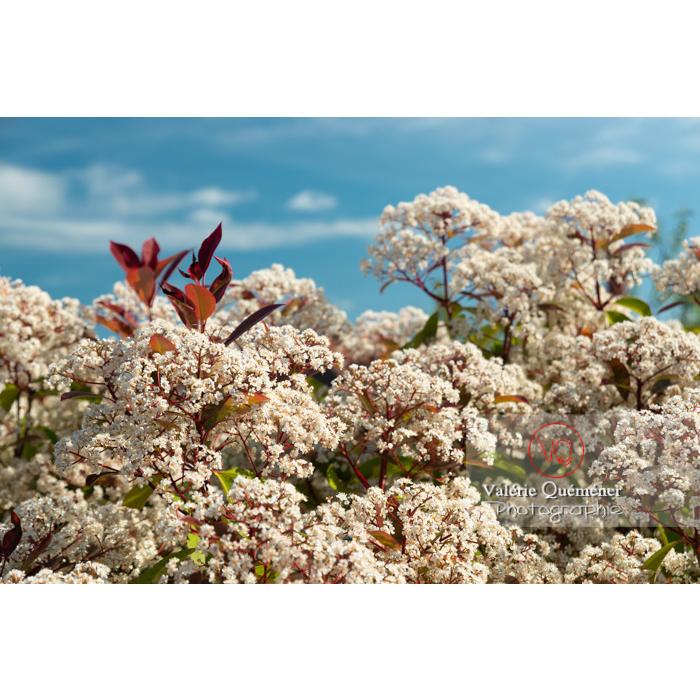 Photinie en fleur (photinia sp) - Réf : VQF&J-10776 (Q3)