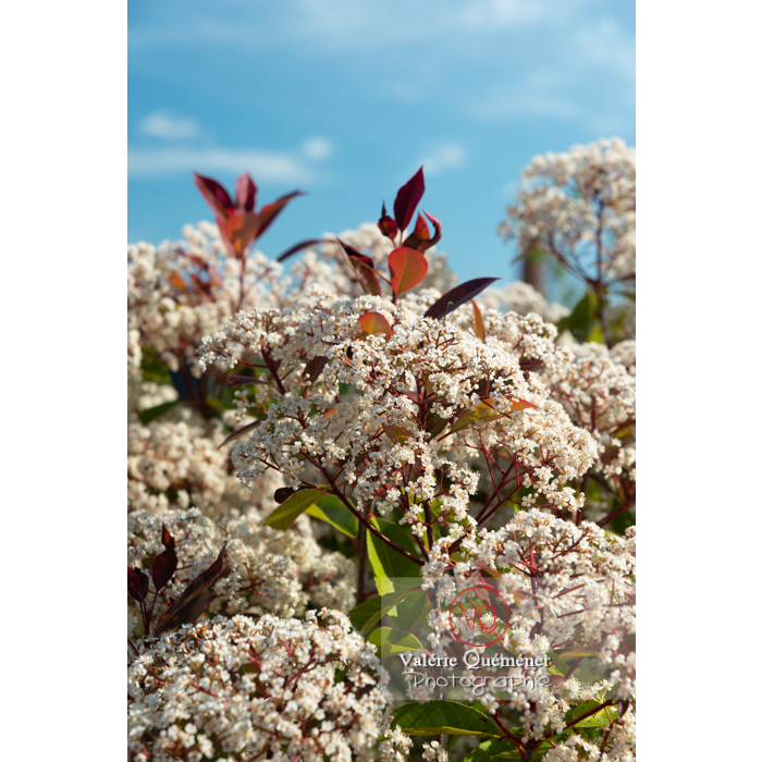 Photinie en fleur (photinia sp) - Réf : VQF&J-10778 (Q3)