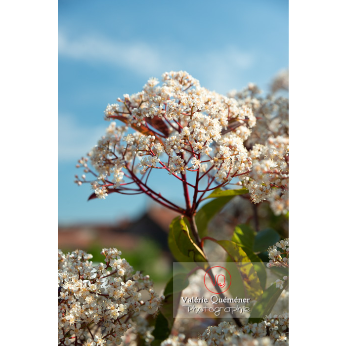 Photinie en fleur (photinia sp) - Réf : VQF&J-10779 (Q3)