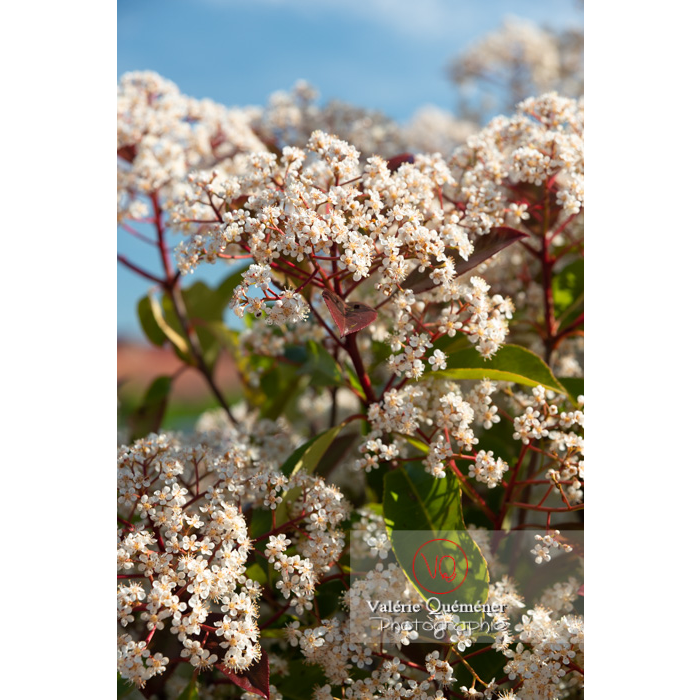 Photinie en fleur (photinia sp) - Réf : VQF&J-10780 (Q3)