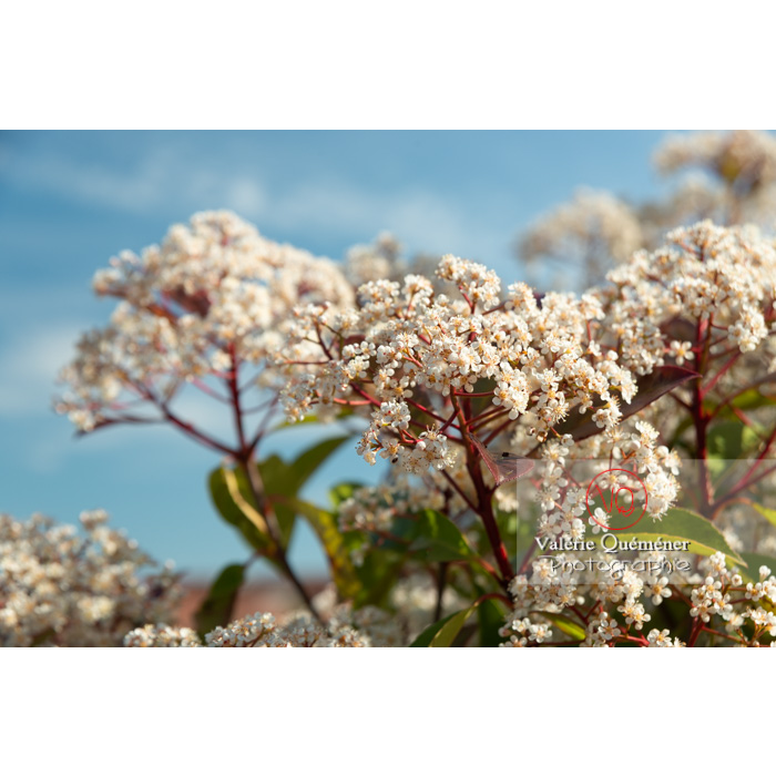 Photinie en fleur (photinia sp) - Réf : VQF&J-10781 (Q3)