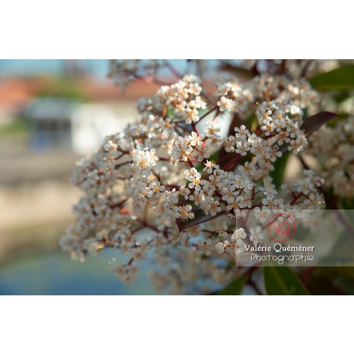Photinie en fleur (photinia sp) - Réf : VQF&J-10782 (Q3)