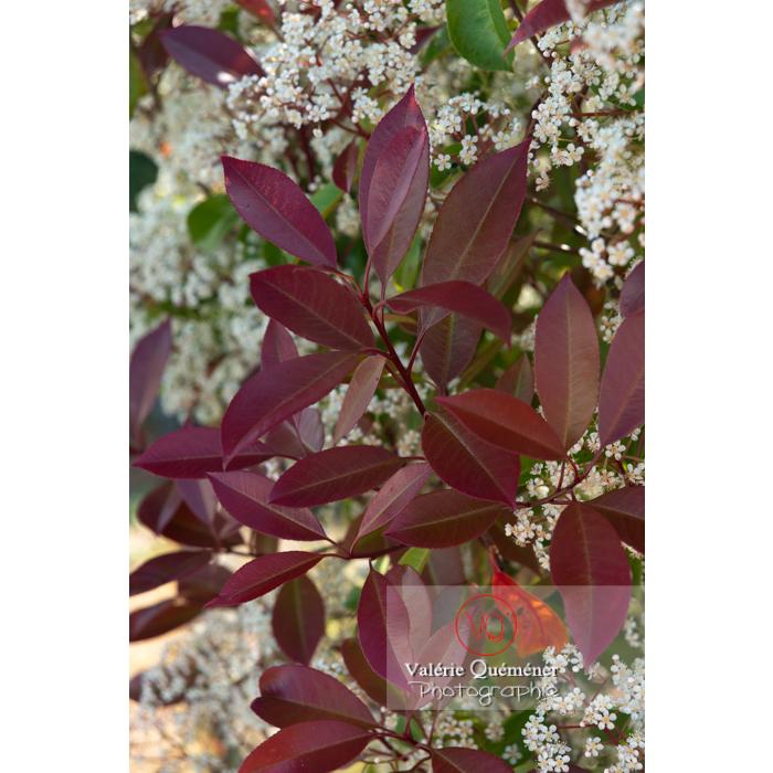 Feuilles rouges d'un Photinie en fleur (photinia sp) - Réf : VQF&J-10784 (Q3)