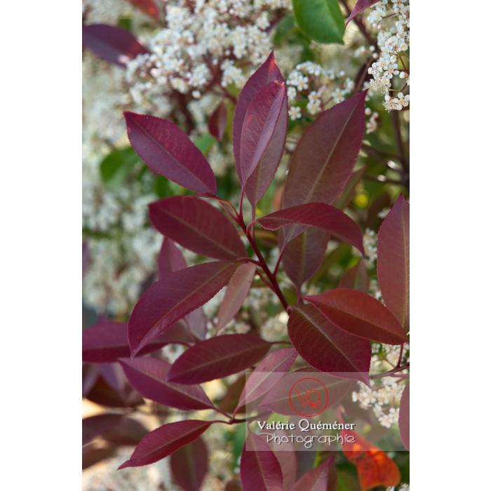 Feuilles rouges d'un Photinie en fleur (photinia sp) - Réf : VQF&J-10785 (Q3)