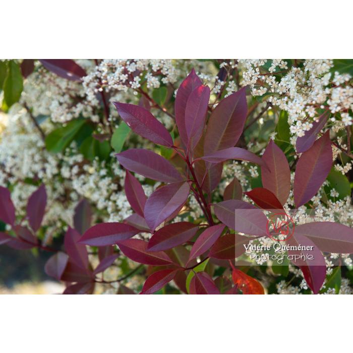 Feuilles rouges d'un Photinie en fleur (photinia sp) - Réf : VQF&J-10786 (Q3)