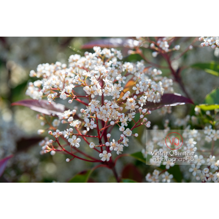 Photinie en fleur (photinia sp) - Réf : VQF&J-10787 (Q3)