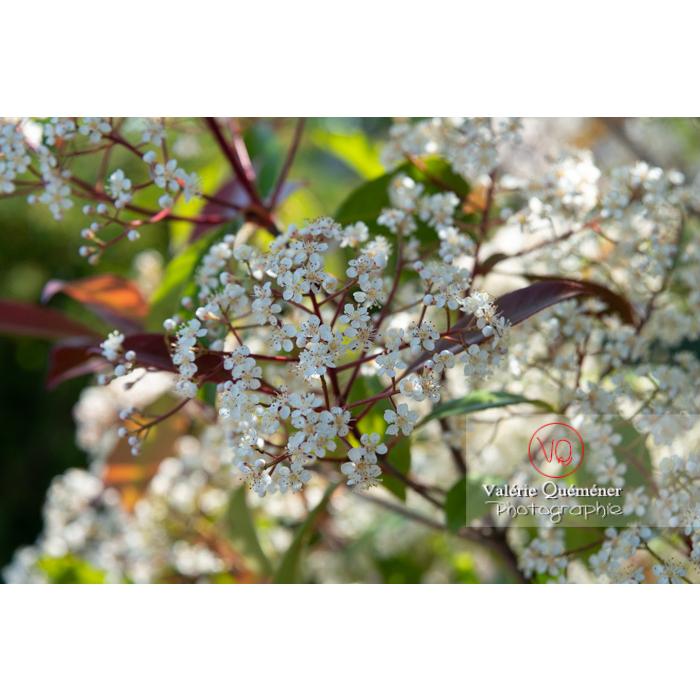 Photinie en fleur (photinia sp) - Réf : VQF&J-10788 (Q3)
