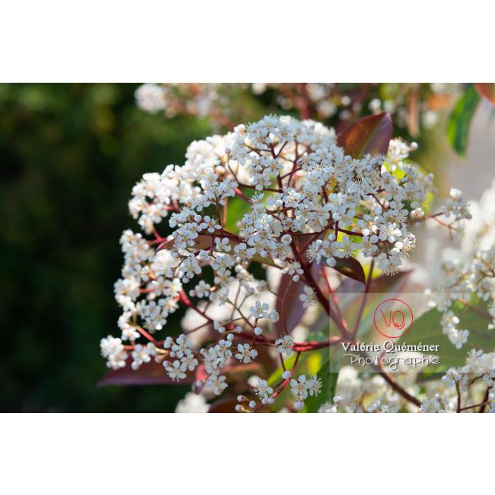 Photinie en fleur (photinia sp) - Réf : VQF&J-10790 (Q3)