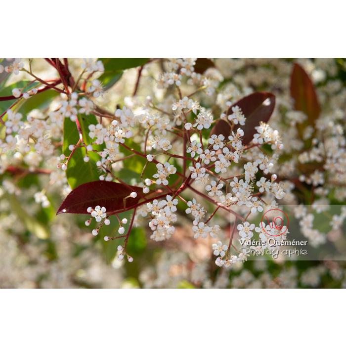 Photinie en fleur (photinia sp) - Réf : VQF&J-10791 (Q3)