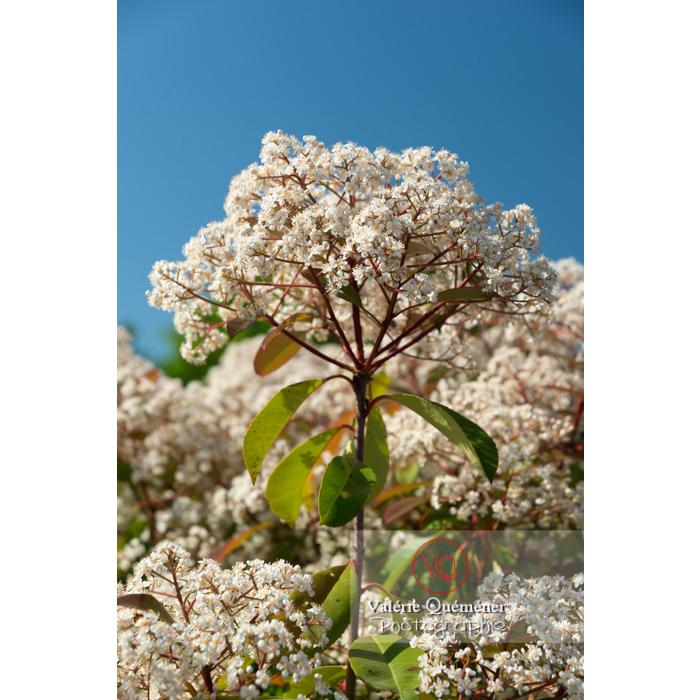 Photinie en fleur (photinia sp) - Réf : VQF&J-10792 (Q3)