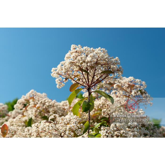 Photinie en fleur (photinia sp) - Réf : VQF&J-10793 (Q3)