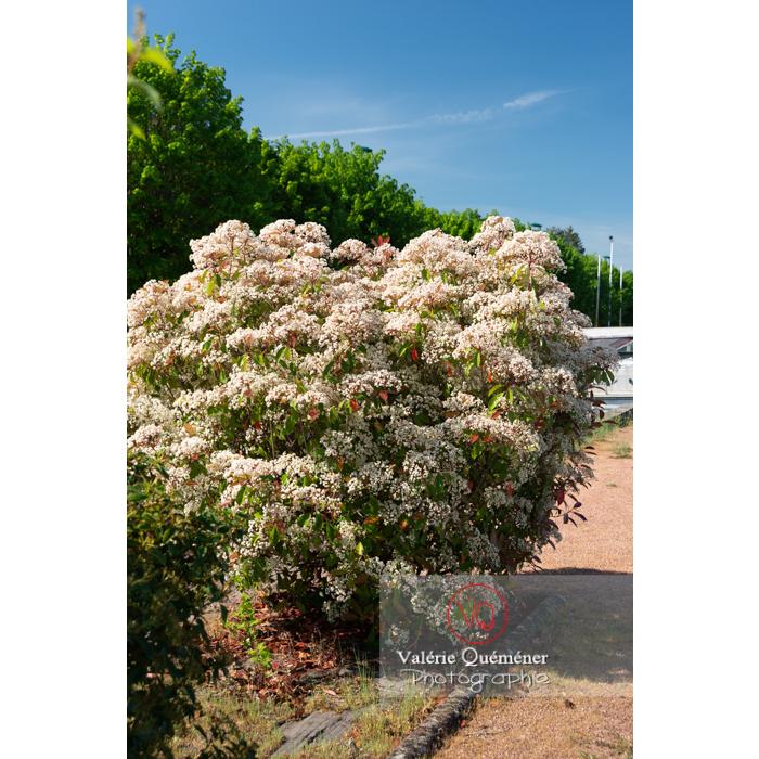 Photinie en fleur (photinia sp) - Réf : VQF&J-10794 (Q3)