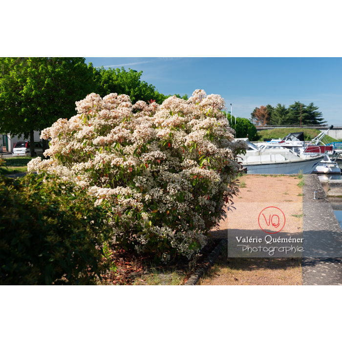 Photinie en fleur (photinia sp) - Réf : VQF&J-10795 (Q3)