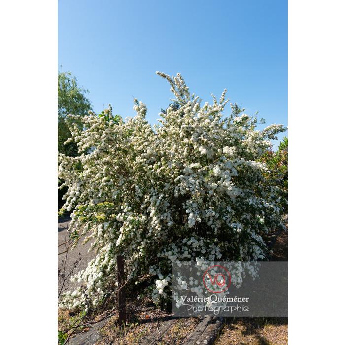 Spirée de Van Houtte en fleur (spiraea vanhouttei) - Réf : VQF&J-10796 (Q3)