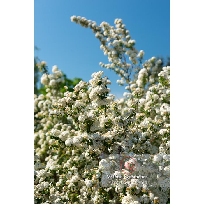 Spirée de Van Houtte en fleur (spiraea vanhouttei) - Réf : VQF&J-10797 (Q3)
