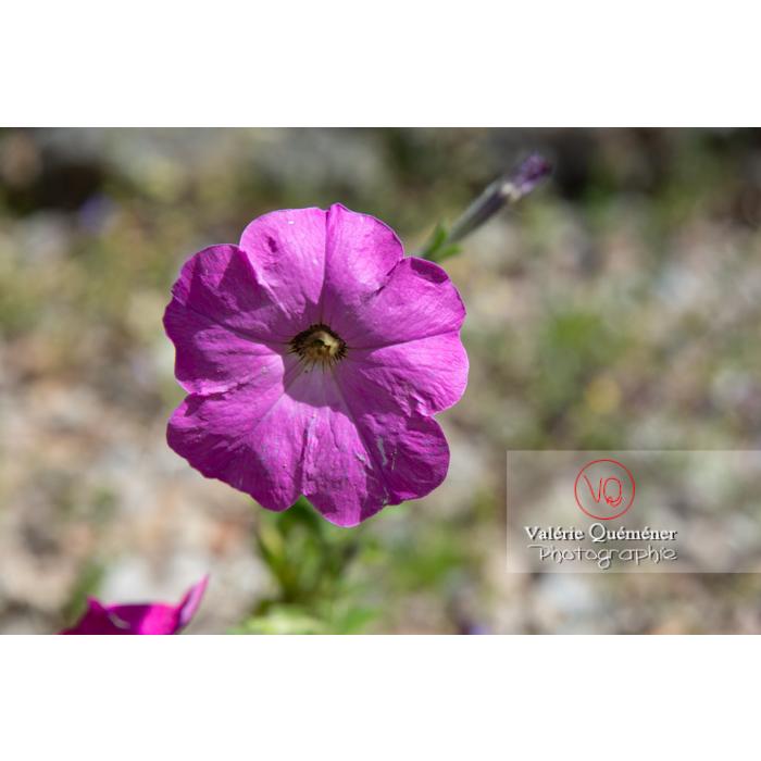 Jeune plant de pétunia - Réf : VQF&J-10800 (Q3)