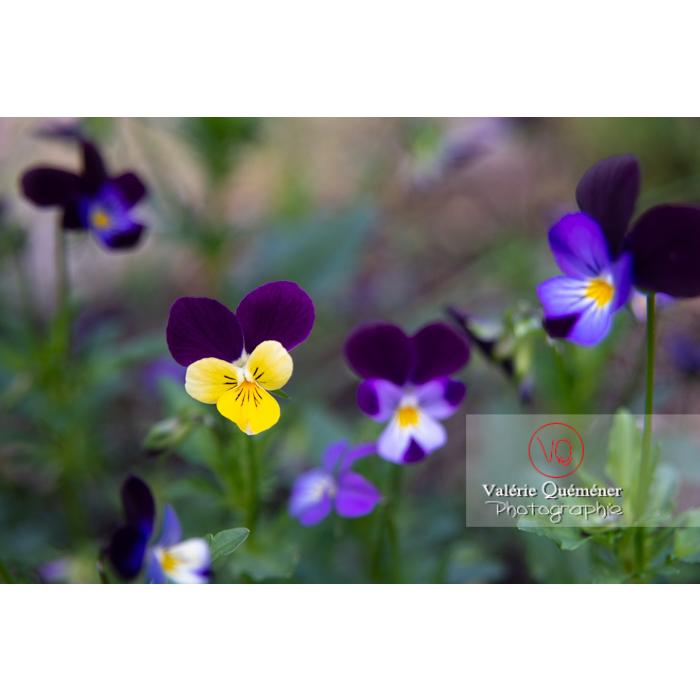 Pensées sauvages (viola tricolor) - Réf : VQF&J-10807 (Q3)