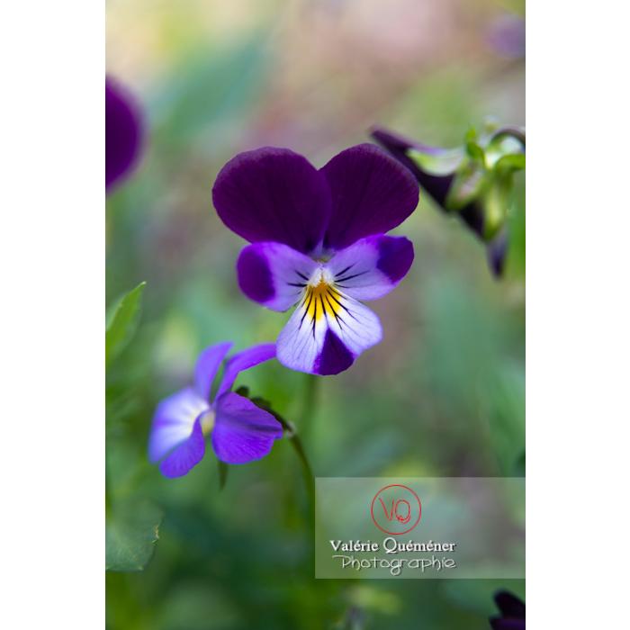 Pensée sauvage (viola tricolor) - Réf : VQF&J-10808 (Q3)