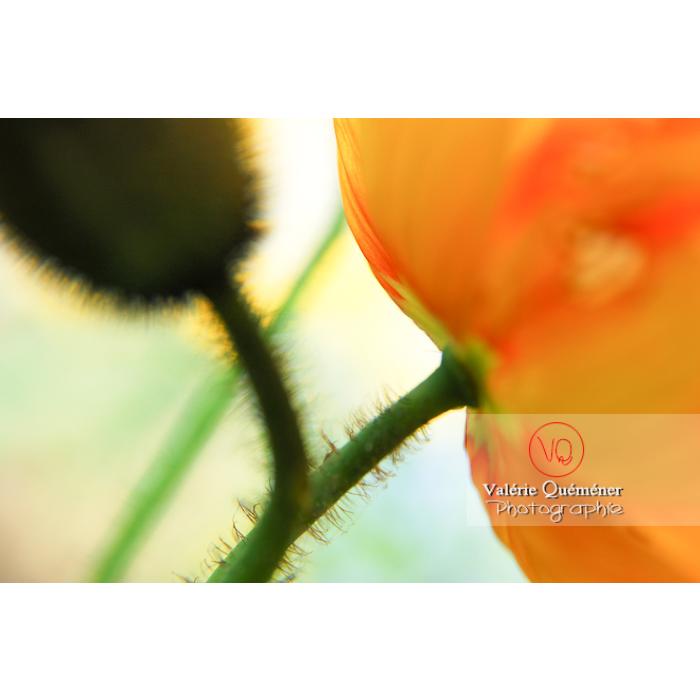 Détail de fleur orange de pavot - Réf : VQF&J-1081 (Q1)