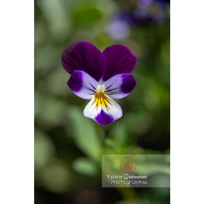 Pensée sauvage (viola tricolor) - Réf : VQF&J-10811 (Q3)