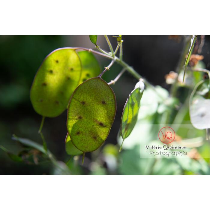 Fruits verts de la monnaie-du-pape ou lunaire (lunaria sp) - Réf : VQF&J-10820 (Q3)