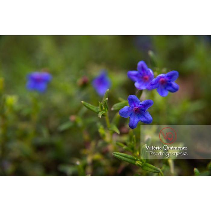 Grémil peut-être Heavenly blue (lithodora diffusa) - Réf : VQF&J-10823 (Q3)