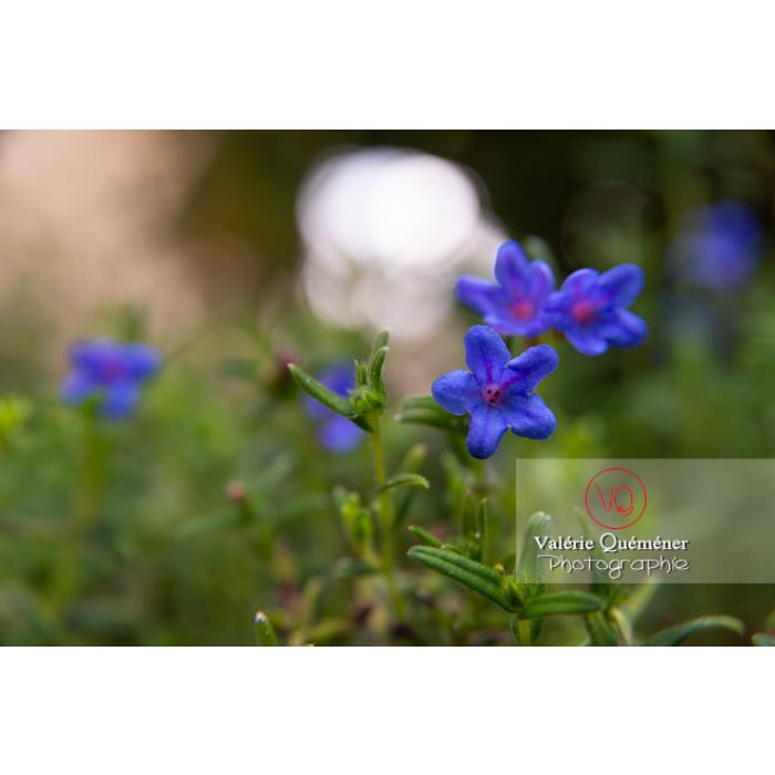 Grémil peut-être Heavenly blue (lithodora diffusa) - Réf : VQF&J-10825 (Q3)