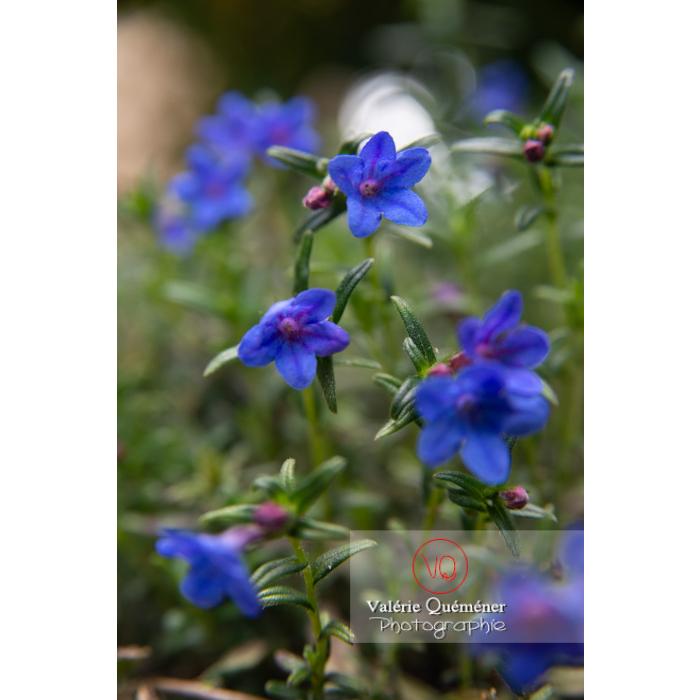 Grémil peut-être Heavenly blue (lithodora diffusa) - Réf : VQF&J-10827 (Q3