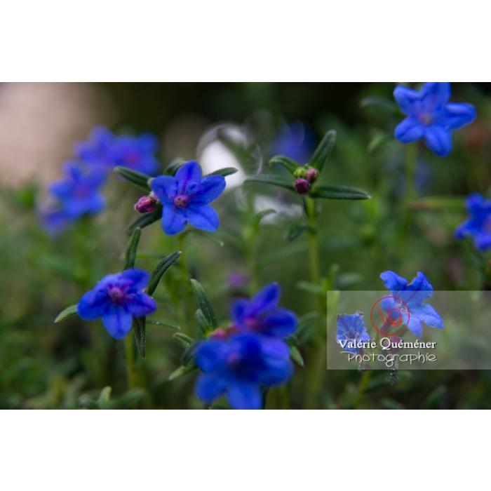 Grémil peut-être Heavenly blue (lithodora diffusa) - Réf : VQF&J-10828 (Q3)
