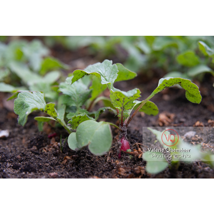 Plant de radis rose en terre (raphanus sativus) - Réf : VQF&J-10829 (Q3)