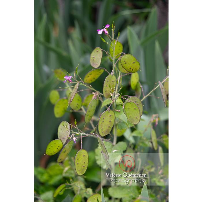 Fruits verts de la monnaie-du-pape ou lunaire (lunaria sp) - Réf : VQF&J-10840 (Q3)