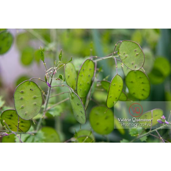 Fruits verts de la monnaie-du-pape ou lunaire (lunaria sp) - Réf : VQF&J-10841 (Q3)