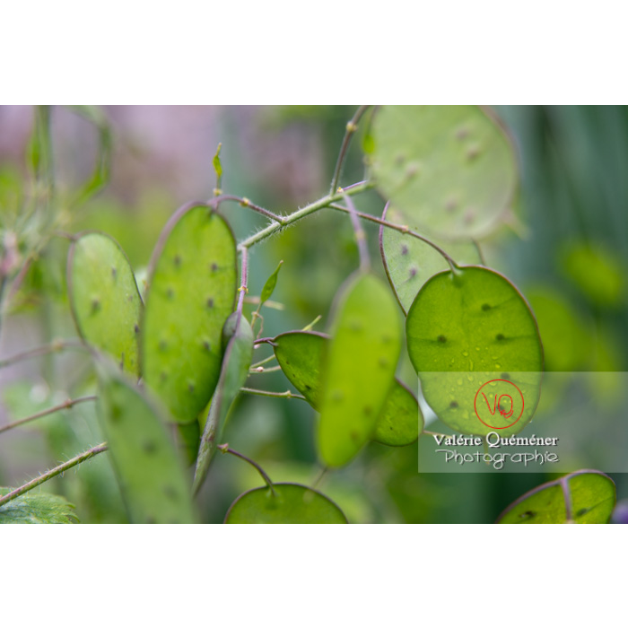 Fruits verts de la monnaie-du-pape ou lunaire (lunaria sp) - Réf : VQF&J-10842 (Q3)