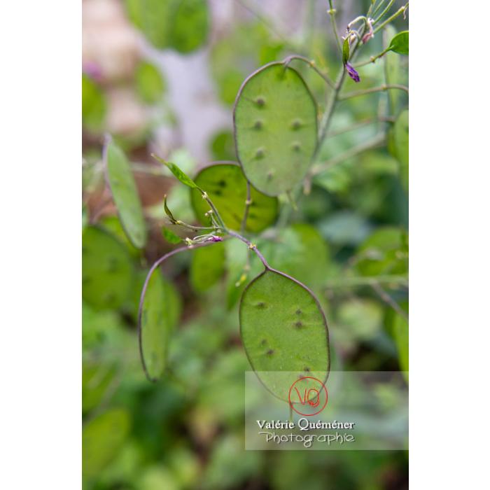 Fruits verts de la monnaie-du-pape ou lunaire (lunaria sp) - Réf : VQF&J-10843 (Q3)