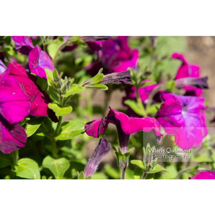 Bouton et fleurs de pétunia surfinia pourpre - Réf : VQF&J-10971 (Q3)