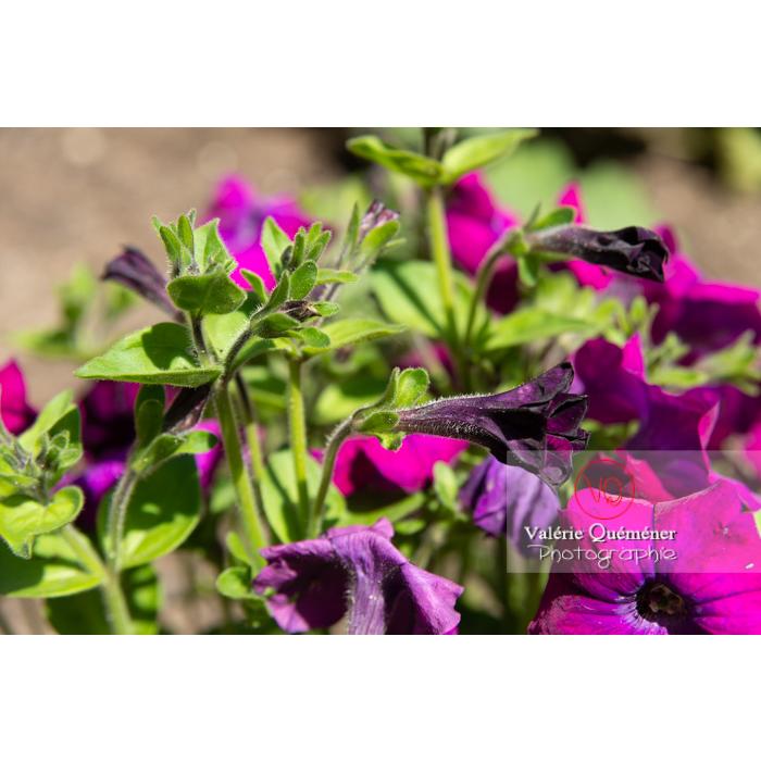 Bouton de fleur de pétunia surfinia pourpre - Réf : VQF&J-10972 (Q3)