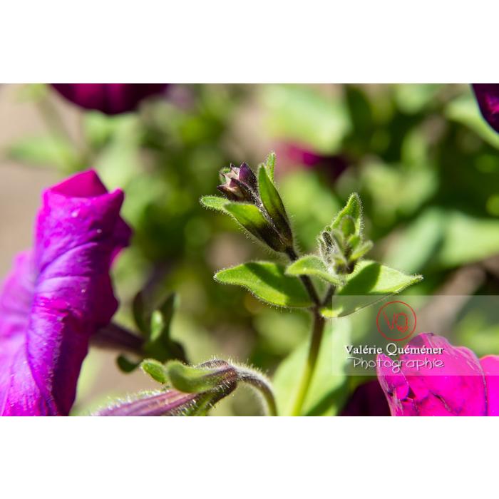 Bouton de fleur de pétunia surfinia pourpre - Réf : VQF&J-10973 (Q3)