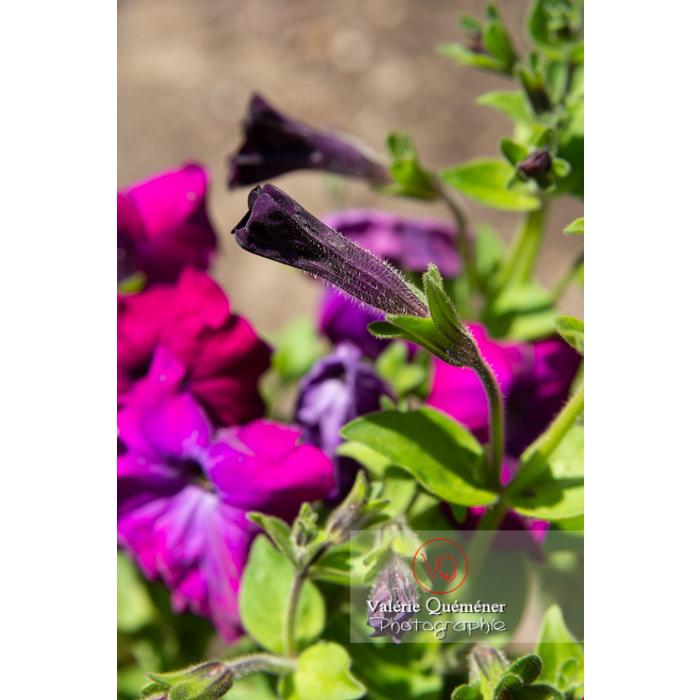 Bouton de fleur de pétunia surfinia pourpre - Réf : VQF&J-10975 (Q3)