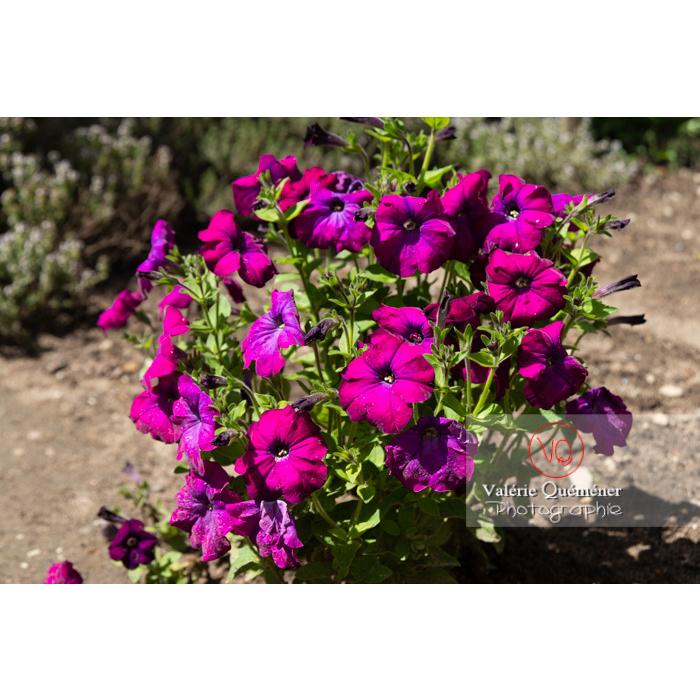 Pétunia surfinia pourpre en fleur - Réf : VQF&J-10976 (Q3)